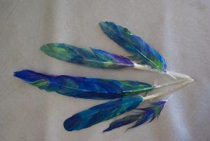 plumes peintes pour coiffe d'indiens