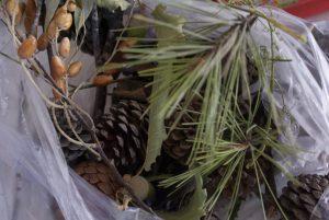 collecte de pommes de pins et branchages pour décor d'automne